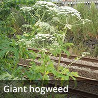 Giant Hogweed - Invasive Species