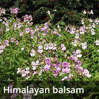 Himalayan balsam - Invasive Species