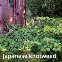 Japanese knotweed - Invasive Species