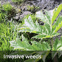 Invasive weeds treatment