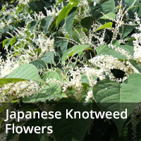 japanese knotwood flowers