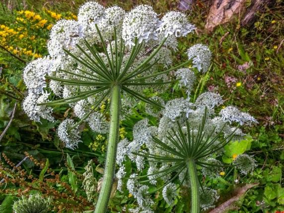 Giant Hogweed flower heads