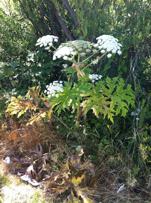 What Does Giant Hogweed Look Like