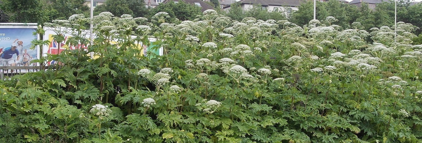 Giant Hogweed growing alongside a railway