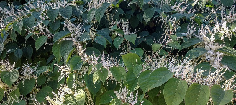 Mature Japanese Knotweed in full bloom