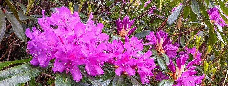 Rhododendron Ponticum in full bloom